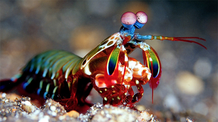 The Feisty Shrimp That Kills With Bullets Made of Bubbles